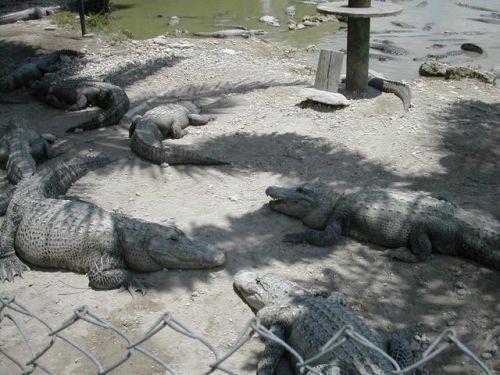 Alligator_Farm01
